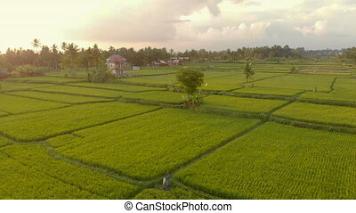 Aerial shot of a beautiful rice field during sunset. Travel to South East Asia concept