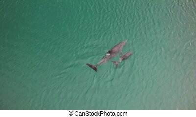 Aerial shot of a dolphins in Shark bay