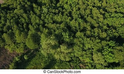Aerial shot of a fir and pine forest with waving branches in Ukraine in summer