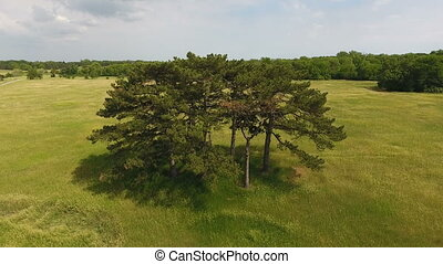 Aerial shot of a high pine trees grove in a picturesque green meadow in Ukraine