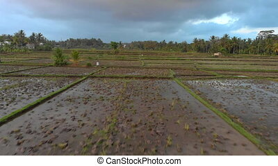 Aerial shot of a newly planted big rice field. Rice crops...