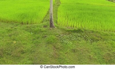 Aerial shot of a palm tree against bright green rice fields in Thailand