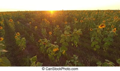 Aerial shot of a ripe sunflower field at a wonderful sunset in summer