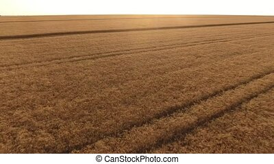 Aerial shot of a wheat field with reap spikes at sunset in summer
