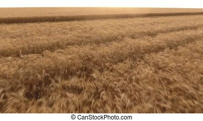 Aerial shot of a wheat field with swaying spikes at sunset in summer