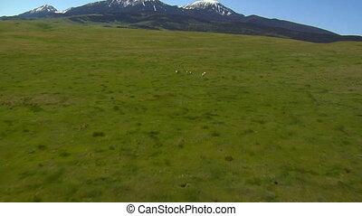 Aerial shot of antelope running on grassy hill