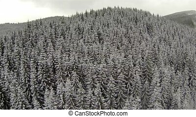 Aerial shot of coniferous forest