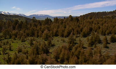 Aerial shot of diseased pine trees and healthy forest