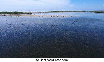 Aerial shot of flocks of cormorants flying over wetland...
