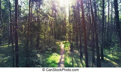 Aerial shot of mixed forest. Camera is flying along the pine and birch forest through the trunks. Sun flare is on the shot. Real time video.