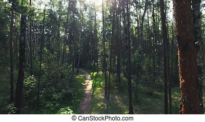 Aerial shot of mixed forest. Camera is flying forward along the path in the pine forest through the trunks. Sun flare is on the shot. Real time video.