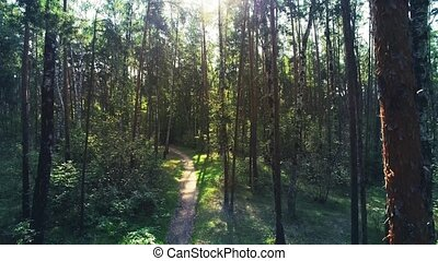 Aerial shot of mixed forest. Camera is flying forward along the path in the pine and birch forest through the trunks.