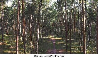 Aerial shot of mixed forest (pines and birches). Camera is flying forward along the pathway in the forest through pine and birch trunks. Real time video. Color graded.
