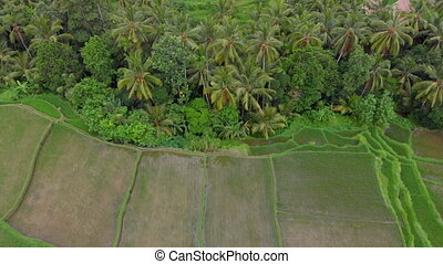 Aerial shot of rice fields and houses surrounding a walkway in a center of the Ubud village on a Bali island. Travell to Bali concept