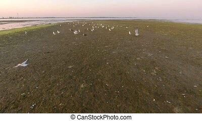 Aerial shot of seagulls taking off on Dzharylhach island...