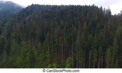 Aerial shot of spruce forest in mountains.