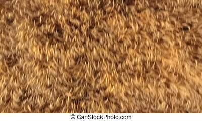 Aerial shot of stirring cereal spikes on a ripe a wheat...