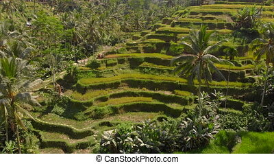 Aerial shot of the famous Tegalalang Rice Terraces in Ubud village on the Bali island