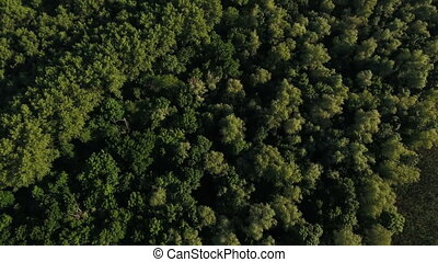 Aerial shot of the green forest with pine tree tops on a sunny day in summer
