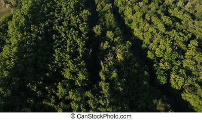Aerial shot of the green forest with mapke tree tops on a sunny day in summer