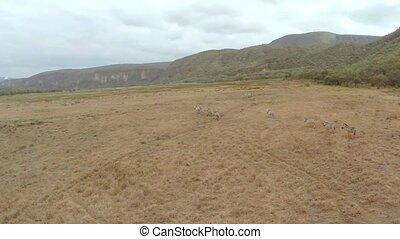 Aerial shot. Zebras.