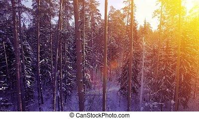 AERIAL Sun light winter warm sunset fly among pine snow tree...