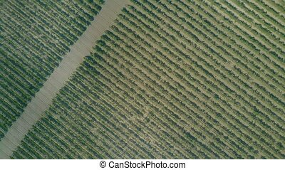 Aerial top-down rising shot of a big vineyard
