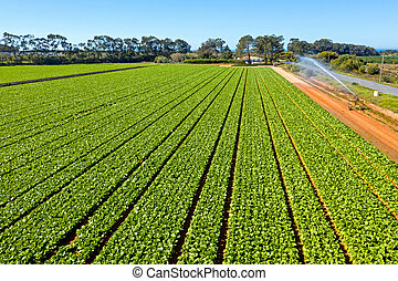 Aerial top shot from lettuce in the fields from Portugal