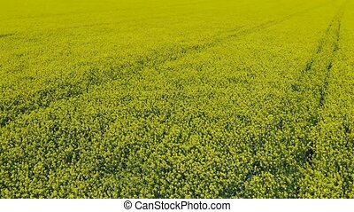 Aerial video of drone flying across field of oilseed or...