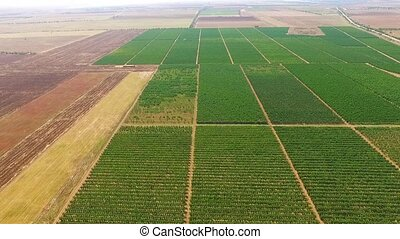 Aerial View Above Green Fruit Gardens - AERIAL VIEW: This is...
