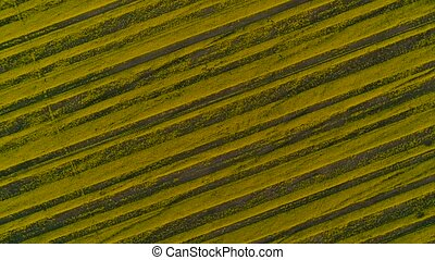 Aerial view above yellow rapeseed fields