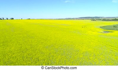 Aerial view above yellow rapeseed fields - Aerial shot of...