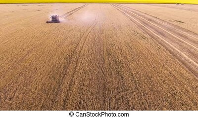 Aerial view Combine Harvester gathers the wheat 4K....
