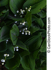 Aerial view convallaria majalis with white blossoms and green leaves