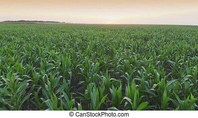 Aerial view field of corn