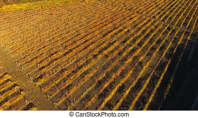 AERIAL VIEW. Fields Of Grapes At Autumn Season