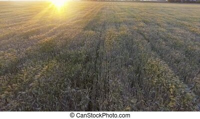 Aerial view. Flight above the ripe golden wheat field at...