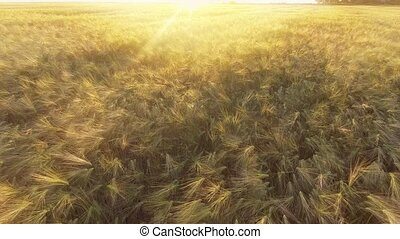 AERIAL VIEW: Flight over the beautiful sunlit wheat field in sunset