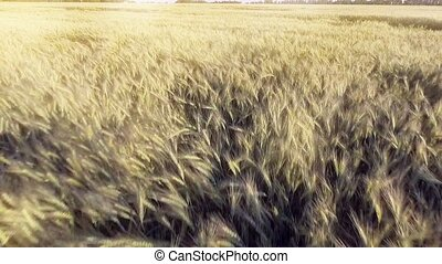 AERIAL VIEW: Flight over the beautiful sunlit wheat field in...