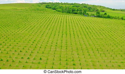 drone flies up view on the row of young trees growing in rural area farm in summer season