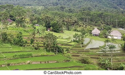aerial view from drone on rice terraces of mountain and house of farmers. Bali, Indonesia