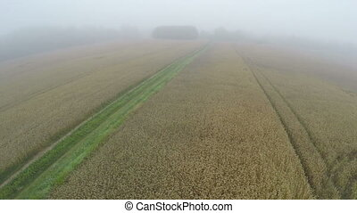 Aerial view from drone over ripe wheat field in misty  morning