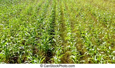 Aerial view from quadcopter drone on Corn field. - Aerial...