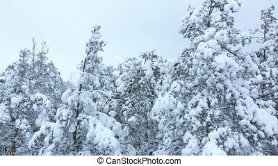 Winter forest pines, aerial upwards movement. - Aerial view....