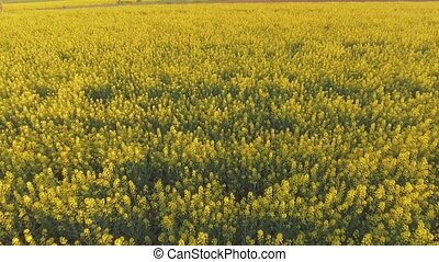 Aerial view of a canola field on a sunny day