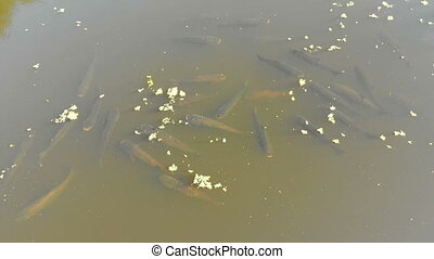 Aerial view of a Flock of Carp Fish Floating on the Surface of the Water in the River