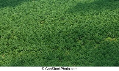 Aerial View of a Palm Plantation in Southeast Asia - FullHD...