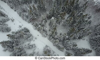 Aerial view of a skier moving through a forest among pine...
