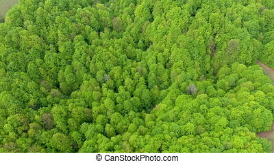 Aerial view of a virgin beech forest in Romania, one of the...