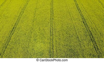 Aerial view of a yellow rape flower field - Rape field...